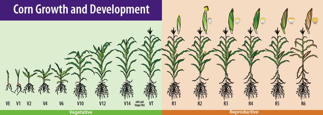KSU_corn_chart