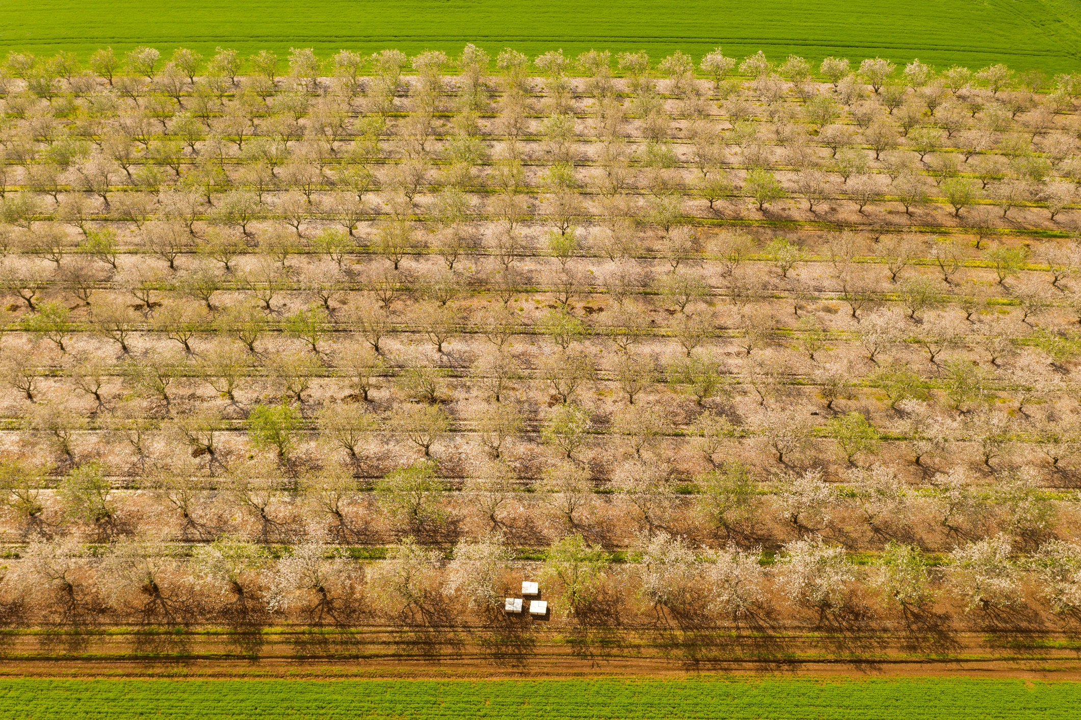 aerial almond orchard early spring