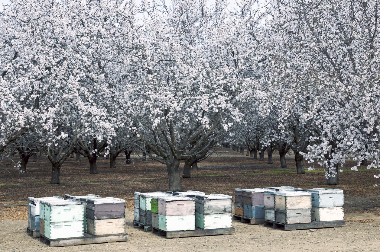 beehives in almond orchard