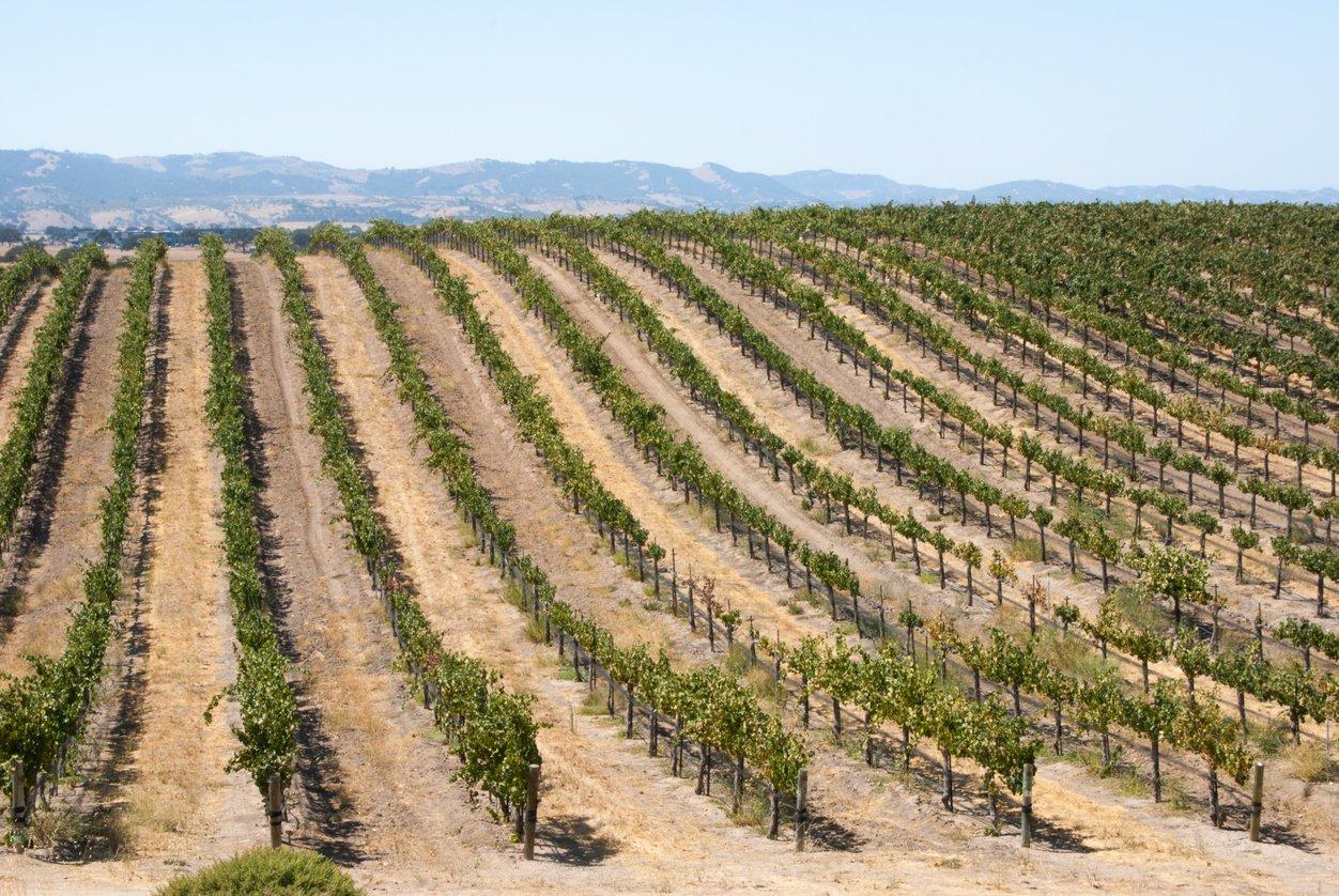 california summer vineyard rows