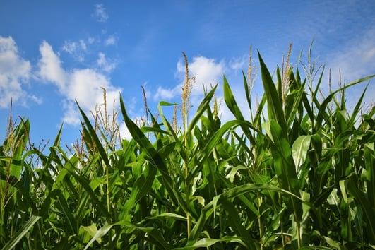 cornfield-1