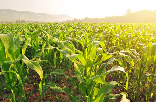 cornfield_morning