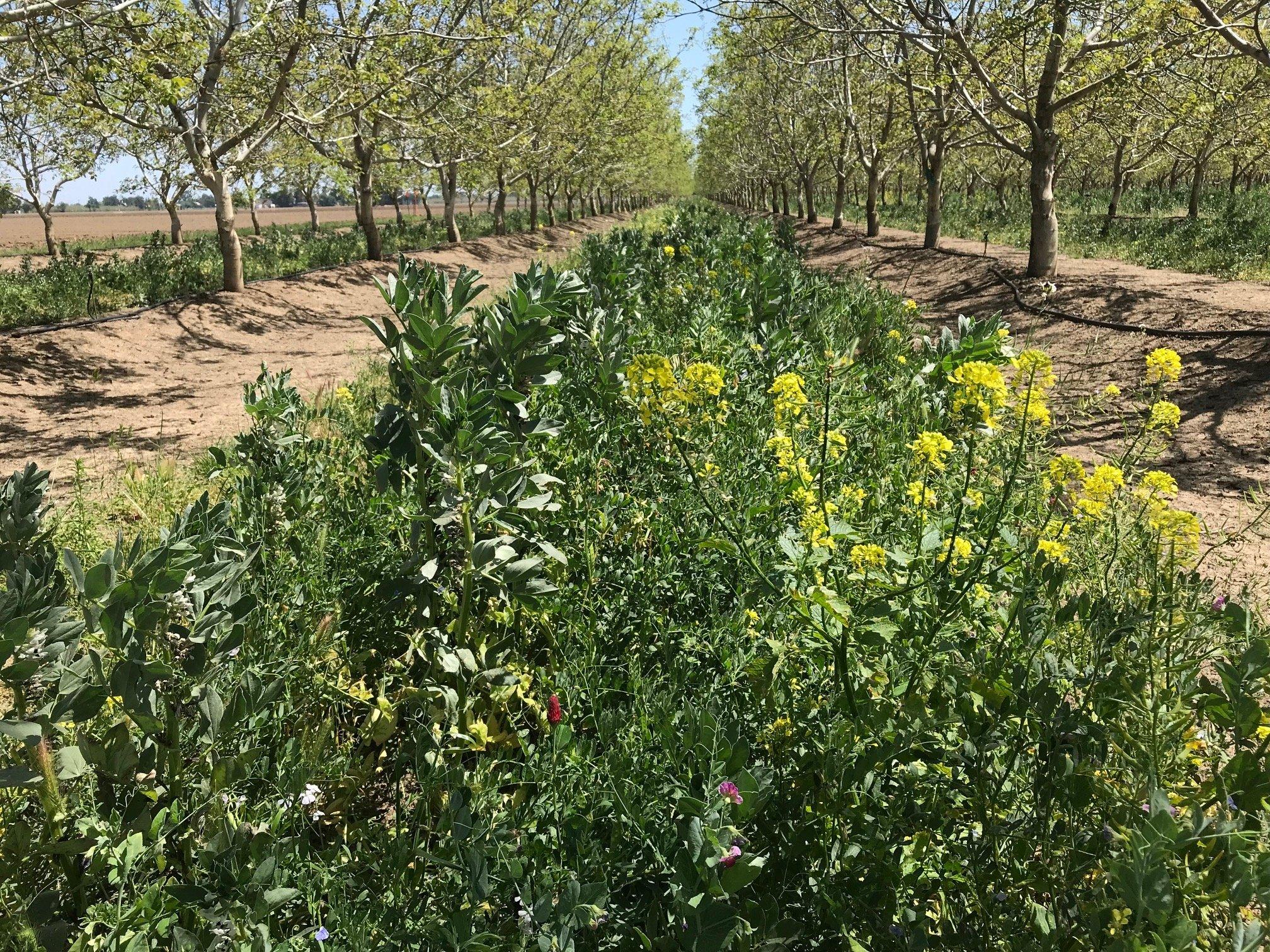 cover crop UCANR