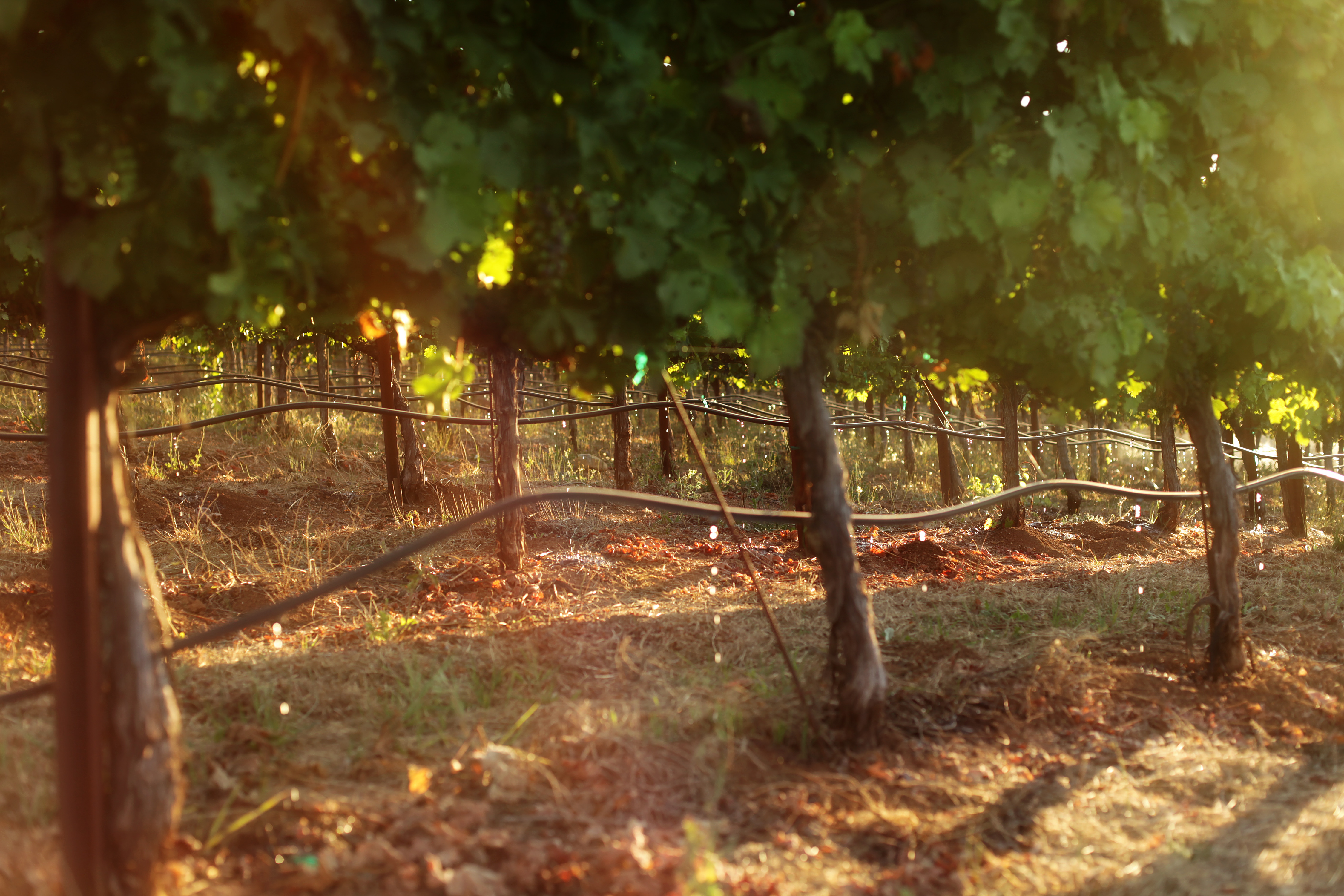 drip_irrigation_vineyard
