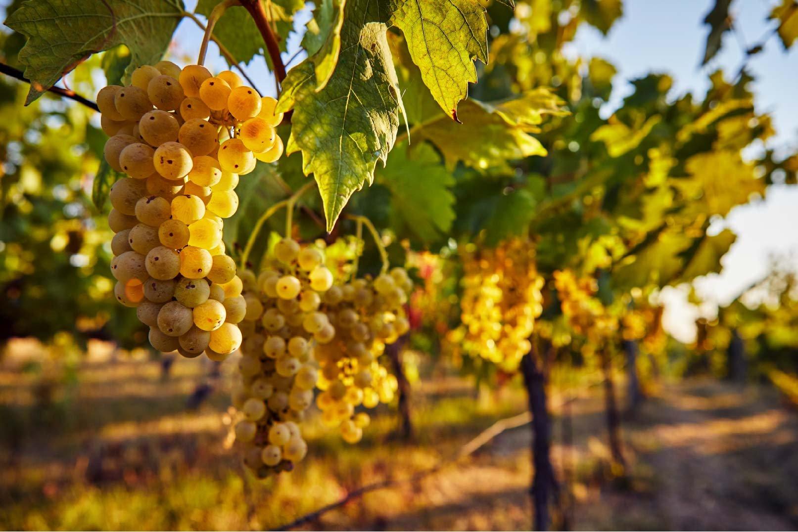 grapes_on_vine-smaller