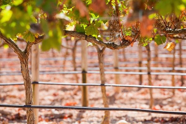 irrigation vineyard drip line-1