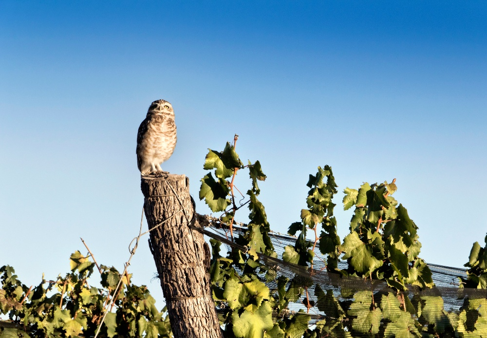 Owl perching in a vineyard