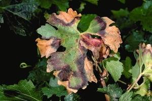 Pierce's disease in vines