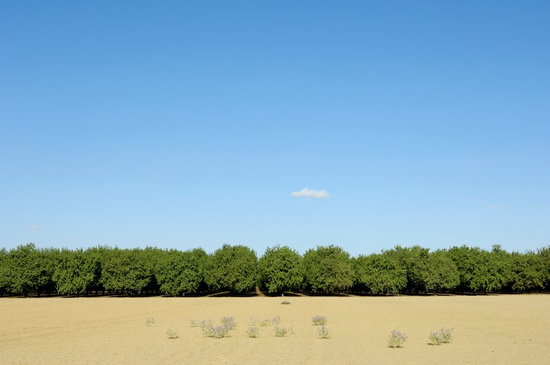 Pistachio orchard in dry conditions