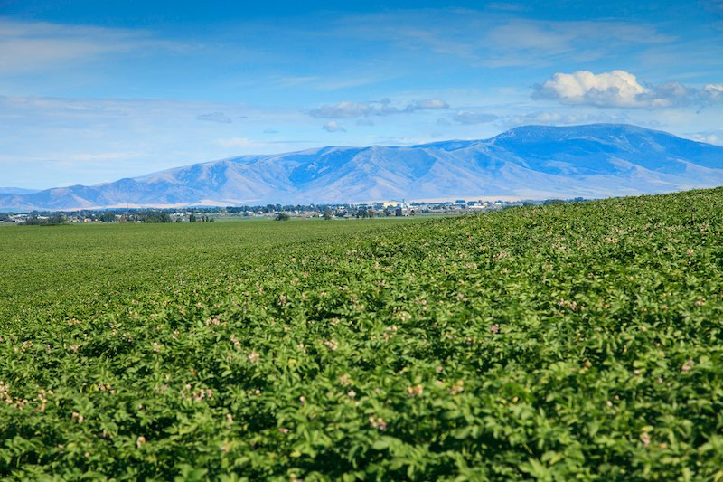 potato field canopy