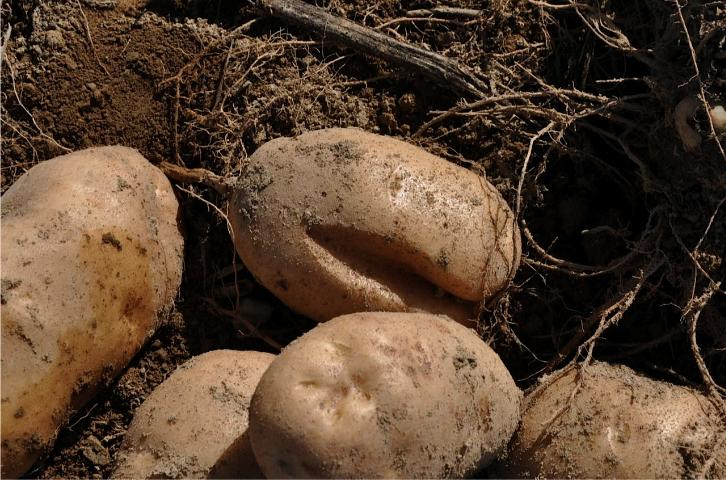 potato growth cracks university of florida