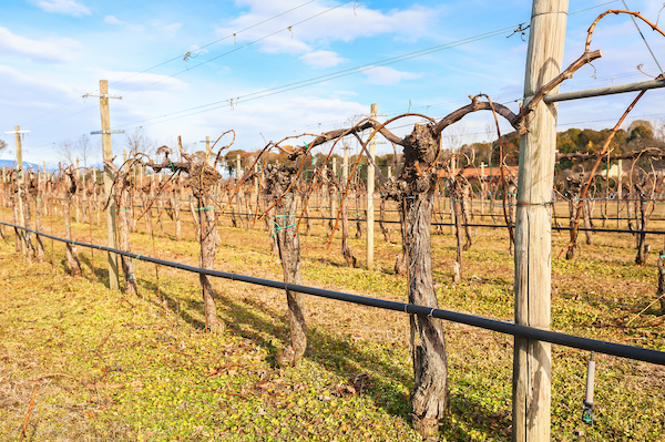 pruned vines with drip line