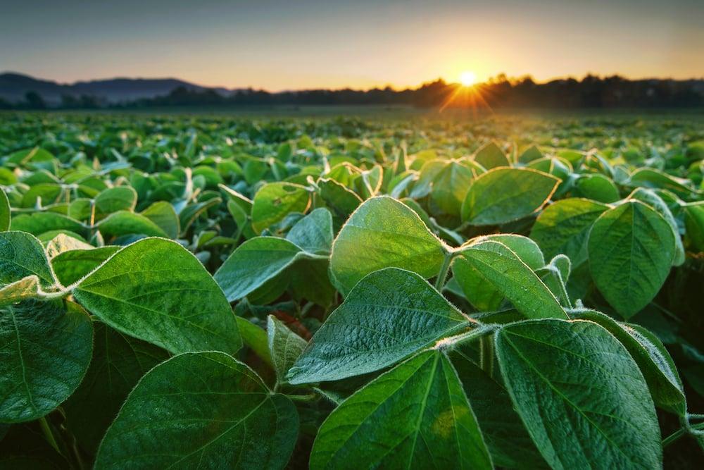 soybean_sun