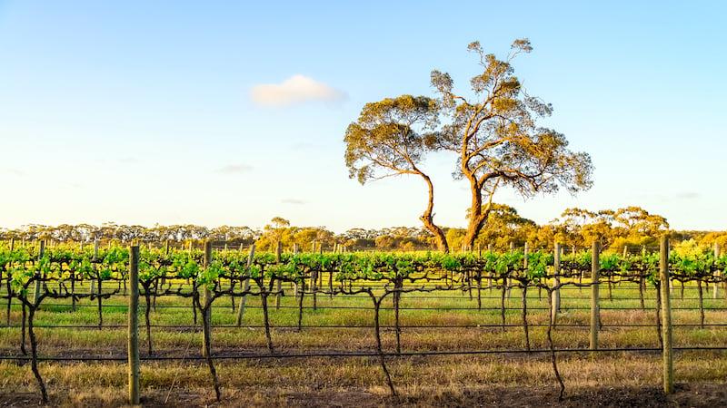 vineyard rows South Australia