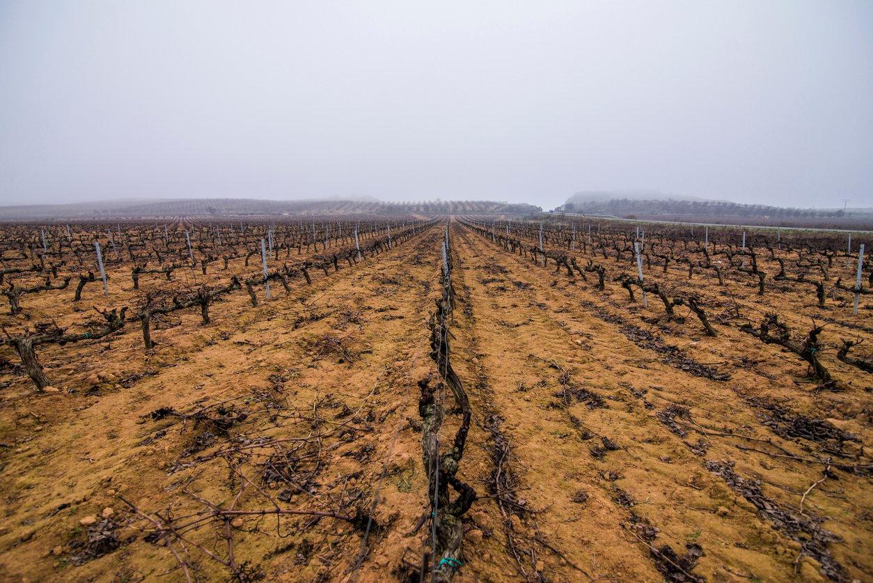vineyard rows dry winter