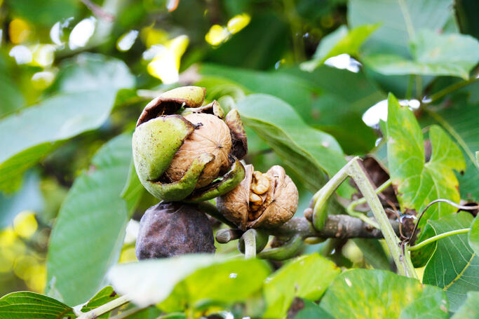 walnut_on_tree