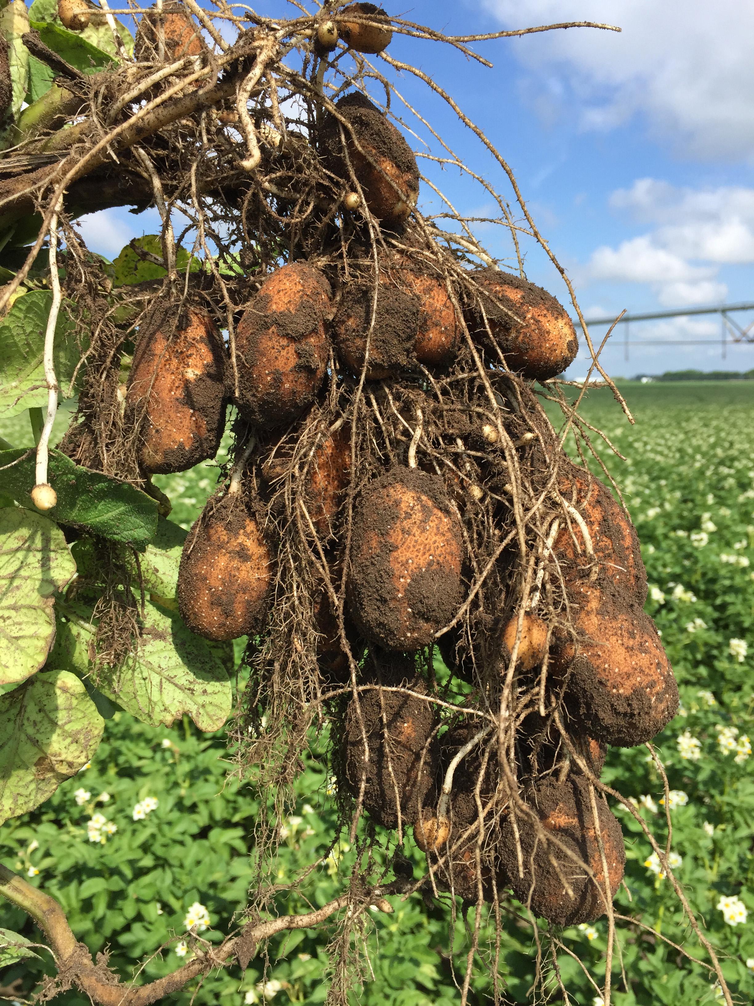 Potato tubers on vine 2-3