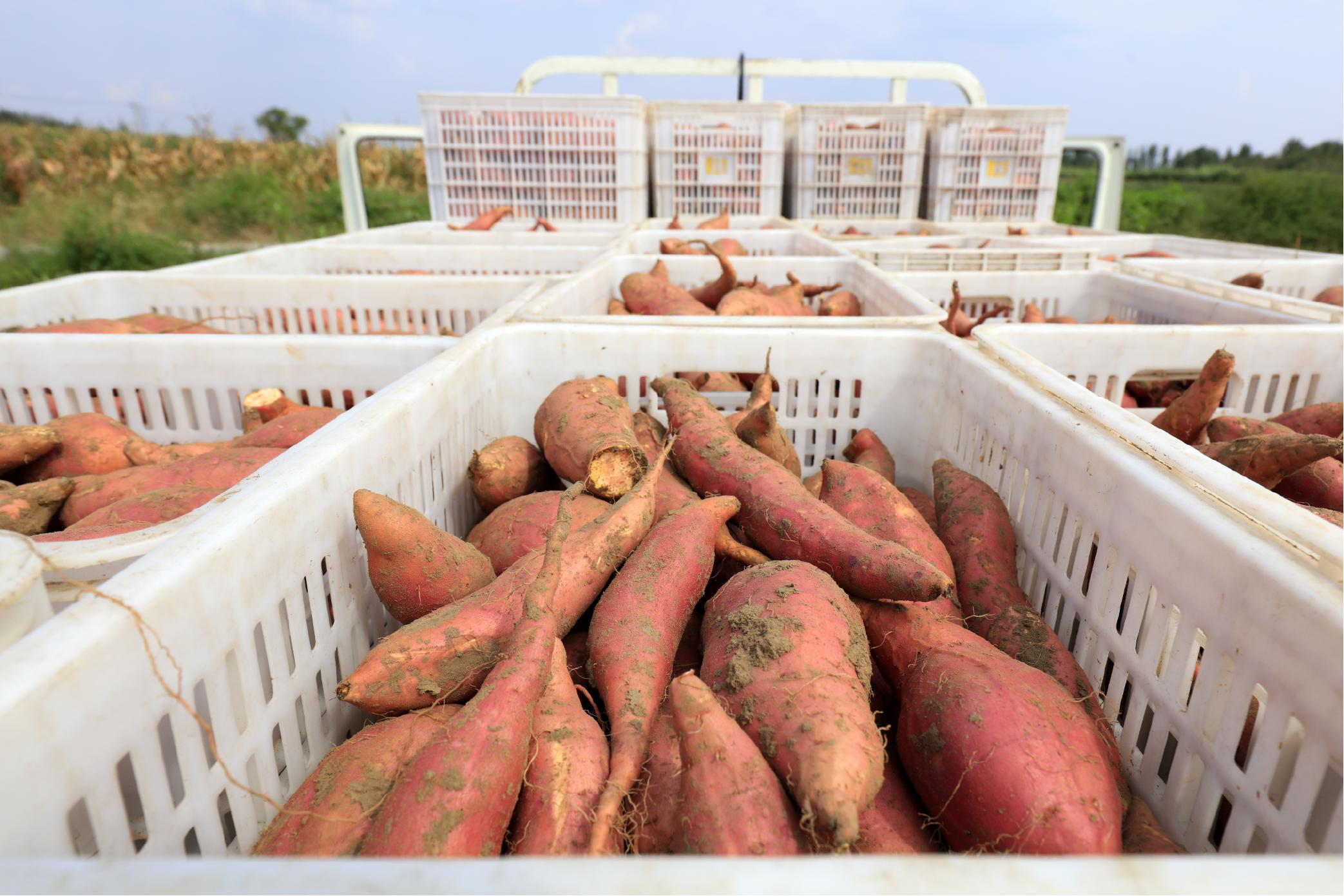 Sweetpotatoes_digital