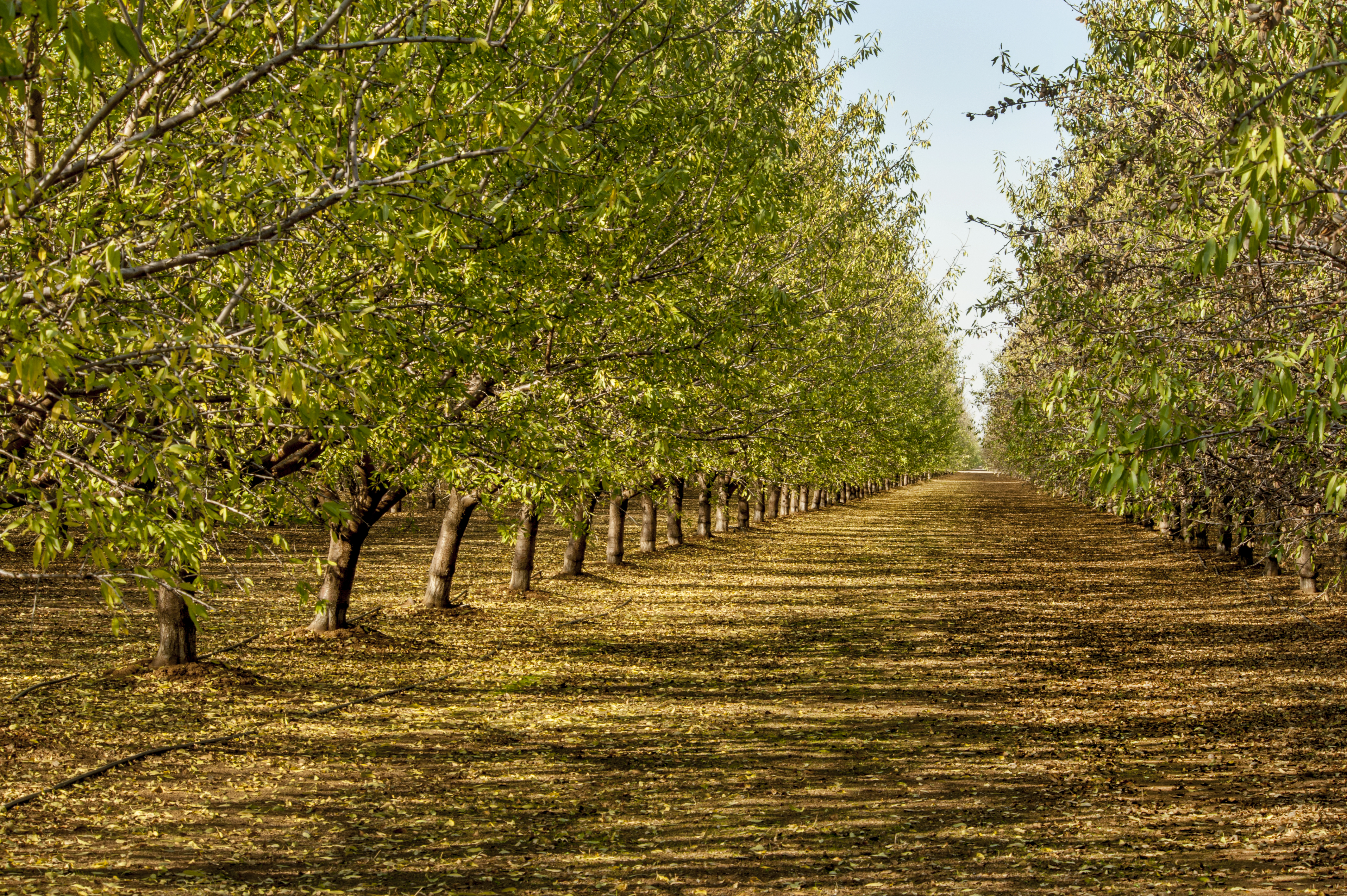 almond_orchard_green