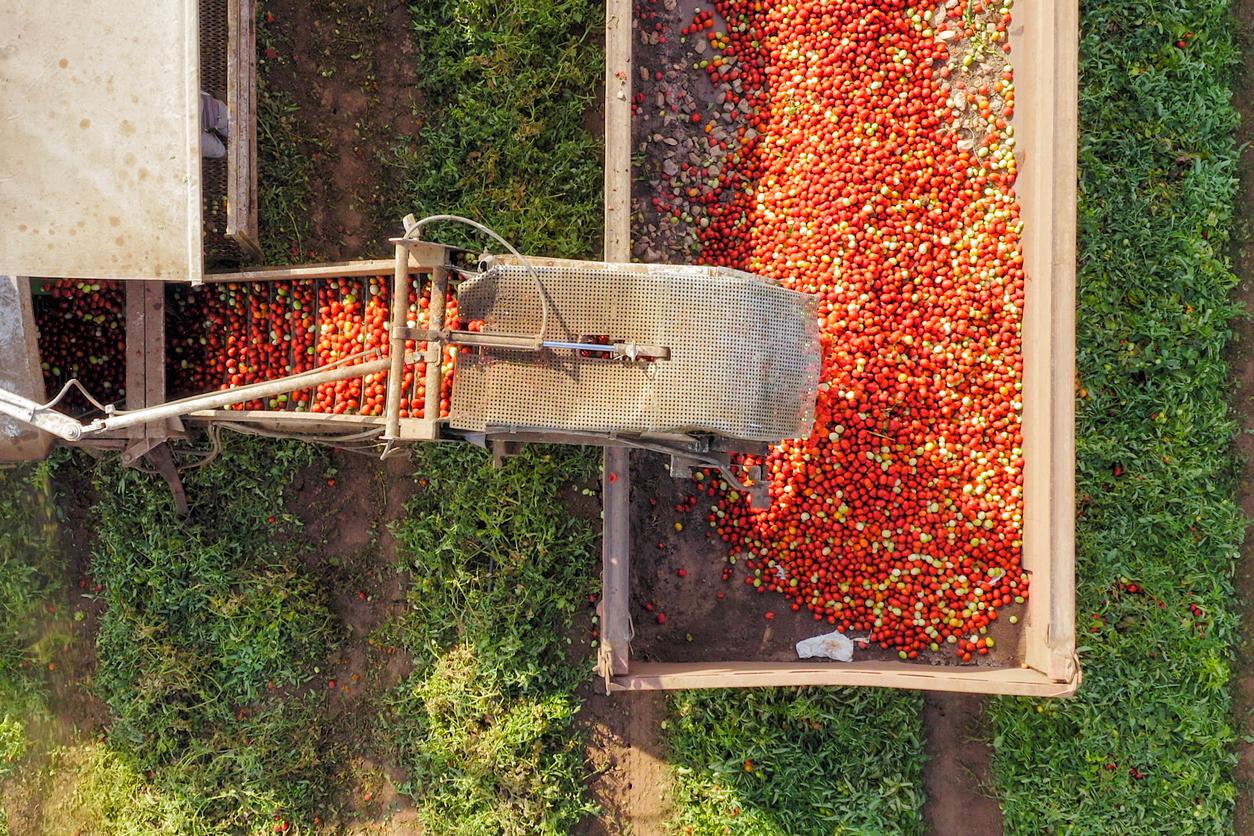 tomato  harvest machinery